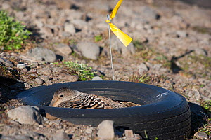 Female Common eider duck (Somateria mollissima) on artificial nest in tyre, aimed to protected the ducks from predators, Tannanes Farm, Onundarfjordur Fjord, Iceland, June. - Cyril Ruoso