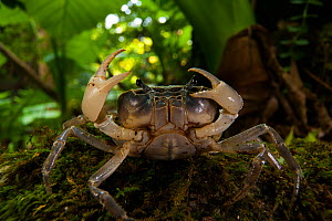 Freshwater crab with pincers raised, on forest floor, Yakushima Island, Japan, November. - Cyril Ruoso