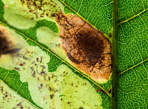 Horse Chestnut Leaf Miner Moth (Cameraria ohridella) larva in leaf (centre of frame) Surrey, UK  July  -  Adrian Davies