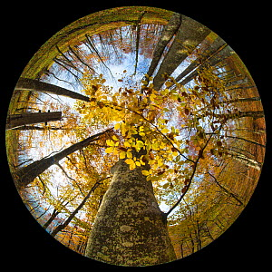 Canopy of a Beech woodland (Fagus sylvatica) in autumn through a circular fisheye lens.  Plitvice Lakes National Park, Croatia. November. - Alex  Hyde