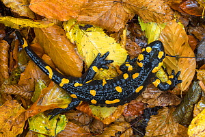 Fire / European salamander (Salamandra salamandra) Plitvice Lakes National Park, Croatia. November. - Alex  Hyde
