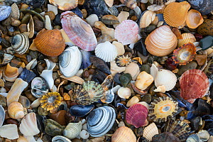 Natural accumulation of mollusc shells, mainly bivalves, washed up on the strandline, Anglesey, Wales, UK. December.  -  Alex  Hyde