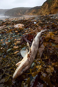 Dead Lesser Spotted Dogfish / Smallspotted Catshark (Scyliorhinus canicula) washed up on strand line following storms. Anglesey, Wales, UK. December.  -  Alex  Hyde