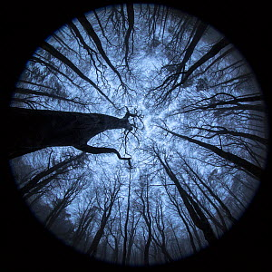 View up to Beech (Fagus sylvatica) woodland canopy in winter, photographed with a circular fisheye lens. Derbyshire, UK. December. - Alex  Hyde