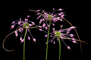 Keeled garlic flowers (Allium carinatum subsp. carinatum) flowers on black background,  Julian Alps, Slovenia. July - Alex  Hyde