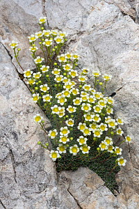 Saxifrage (Saxifraga squarrosa) growing in a crevice on a limestone cliff face. Triglav National Park, Julian Alps, Slovenia. July.  -  Alex  Hyde