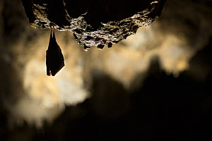 Greater horseshoe bat (Rhinolophus ferrumequinum) roosting in cave. Croatia. November. - Alex  Hyde
