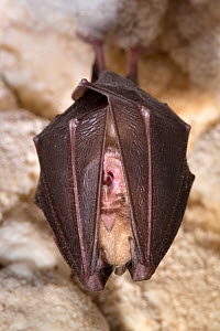 Lesser horseshoe bat (Rhinolophus hipposideros) roosting in cave. Croatia. November.  -  Alex  Hyde
