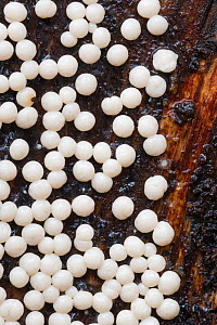 Sporangia of a white slime mould (Myxomycetes) growing on a decaying log, Plitvice Lakes National Park, Croatia. November. - Alex  Hyde