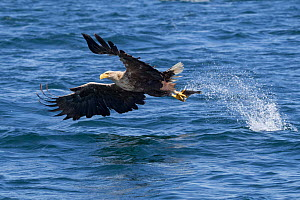 White-tailed eagle (Haliaeetus albicilla), swooping to take a fish from the water's surface. Loch Na Keal, Isle of Mull, Scotland, UK. June.  -  Alex  Hyde