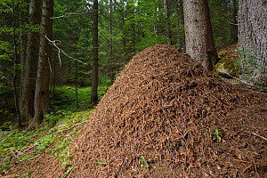 Wood Ant nest (Formica rufa) constructed from pine needles and other debris from the forest floor. Julian Alps, Slovenia, July. - Alex  Hyde