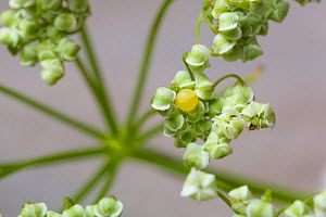 Egg of Common swallowtail butterfly (Papilio machaon) on Umbellifer flower, Julian Alps, Slovenia. July. - Alex  Hyde