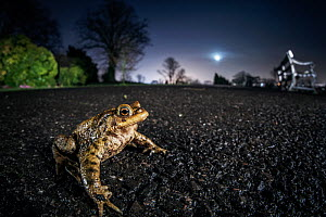 Common toad (Bufo bufo). Bristol, UK. March  -  Sam Hobson