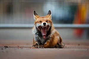 Red fox vixen (Vulpes vulpes) yawning during the day, Bristol, UK. July  -  Sam Hobson