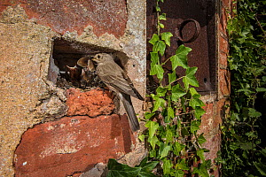 Spotted flycatcher (Muscicapa striata) feeding chicks with meadow brown butterfly (Maniola jurtina) in wall, Herefordshire, UK. June  -  Sam Hobson