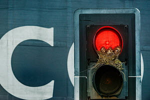 Mistle thrush (Turdus viscivorus) nest in traffic light. Leeds, UK. July - Sam Hobson