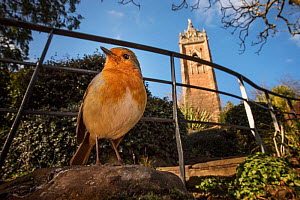 European robin (Erithacus rubecula) low angle view near Cabot Tower, Brandon Hill, Bristol, UK. January  -  Sam Hobson