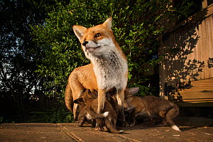 Red fox vixen (Vulpes vulpes)  with young cubs. Bristol, UK. April - Sam Hobson