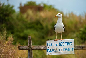 Lesser black-backed gull (Larus fuscus) on 'Gulls Nesting' sign, Flatholm Island, Wales, UK. July - Sam Hobson