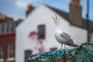 Herring gull (Larus argentatus) calling on lobster trap, Scarborough, UK. July  -  Sam Hobson