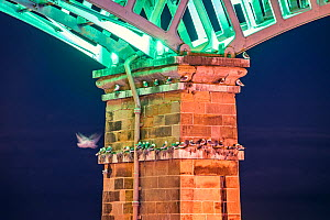 Kittiwakes (Rissa tridactyla) nesting under the Spa Bridge, Scarborough, UK. July - Sam Hobson