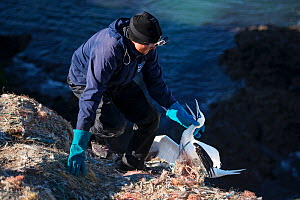 Scientist freeing Northern gannet (Morus bassanus) entangled in marine litter. Grassholm Island, Wales, UK. October - Sam Hobson