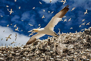 Northern gannets (Morus bassanus) colony with birds in flight, Bass Rock, Scotland, UK. August - Sam Hobson