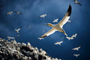 Northern gannets (Morus bassanus) colony with birds in flight. Bass Rock, Scotland, UK. August - Sam Hobson
