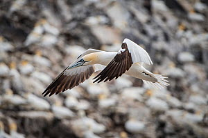 Northern gannet (Morus bassanus). Bass Rock, Scotland, UK. August - Sam Hobson