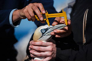 Seabird researchers measure Northern gannet (Morus bassanus) bill length. Bass Rock, Scotland, UK. August - Sam Hobson