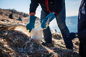 Scientists untangling Northern gannet (Morus bassanus) from marine litter. Grassholm Island, Wales, UK. October - Sam Hobson