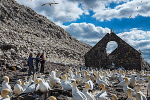 Seabird researchers and Northern gannets (Morus bassanus) colony next to derelict building, Bass Rock, Scotland, UK. August - Sam Hobson