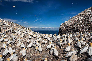 Northern gannets (Morus bassanus). Bass Rock, Scotland, UK. August - Sam Hobson