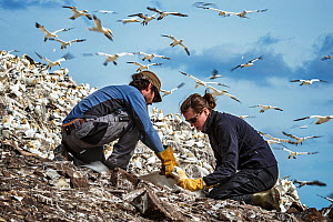 Seabird researchers catching Northern gannet (Morus bassanus). Bass Rock, Scotland, UK. August - Sam Hobson