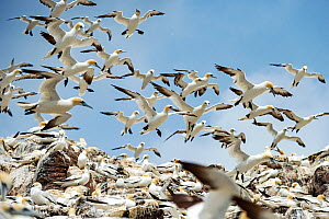 Northern gannets (Morus bassanus) colony. Bass Rock, Scotland, UK. August - Sam Hobson