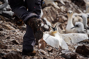 Seabird researcher catching Northern gannet (Morus bassanus). Bass Rock, Scotland, UK. August - Sam Hobson