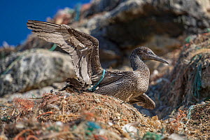 Northern gannet (Morus bassanus) juvenile, entangled in marine litter. Grassholm Island, Wales, UK. October - Sam Hobson