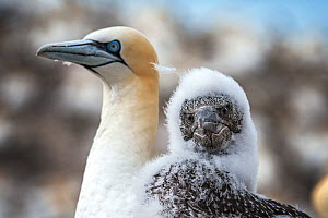 Northern gannet (Morus bassanus) nestling with adult. Bass Rock, Scotland, UK. August - Sam Hobson