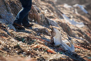 Northern gannet (Morus bassanus) entangled in marine litter. Grassholm Island, Wales, UK. October - Sam Hobson