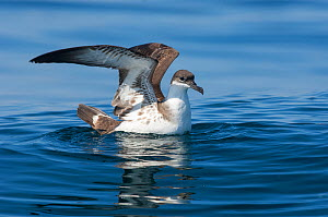 Great shearwater (Puffinus gravis) on ocean, near the Fonte da Telha Beach, Portugal, October. - Luis  Quinta