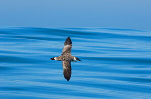 Great shearwater (Puffinus gravis) in flight, Fonte da Telha Beach, Portugal, October. - Luis  Quinta