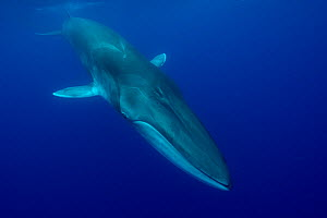 Fin whale (Balaenoptera physalus) near surface. Pico Island, Azores, Portugal. May. - Luis  Quinta