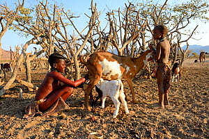 Himba girl with traditional double plait hairstyle milking a goat. Marienfluss Valley, Kaokoland Desert, Namibia. October 2015  -  Eric Baccega