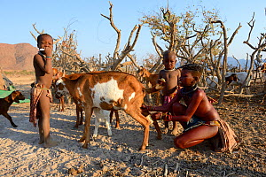 Himba girl with traditional double plait hairstyle, milking goat. Marienfluss Valley, Kaokoland Desert, Namibia. October 2015  -  Eric Baccega
