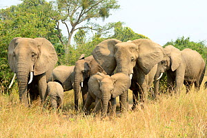 African elephant (Loxodonta africana), group with females and young foraging in the savannah, Queen Elizabeth National Park, Uganda. - Eric Baccega