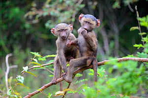 Young Olive baboons (Papio cynocephalus anubis) playing together in tree, Akagera National Park, Rwanda. - Eric Baccega