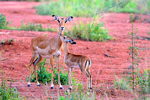Uganda Kob (Kobus kob thomasi), female and calf, Queen Elizabeth National Park, Uganda.  -  Eric Baccega