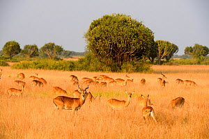 Uganda Kob (Kobus kob thomasi), group grazing, Queen Elizabeth National Park, Uganda.  -  Eric Baccega