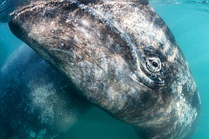 Grey whale (Eschrichtius robustus) calf at ocean surface, with its mother visible, Magdalena Bay, Baja California, Mexico.  -  Tony Wu