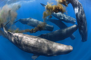 Sperm whales (Physeter macrocephalus) group of females with one defecating. Sri Lanka, Indian Ocean.  -  Tony Wu